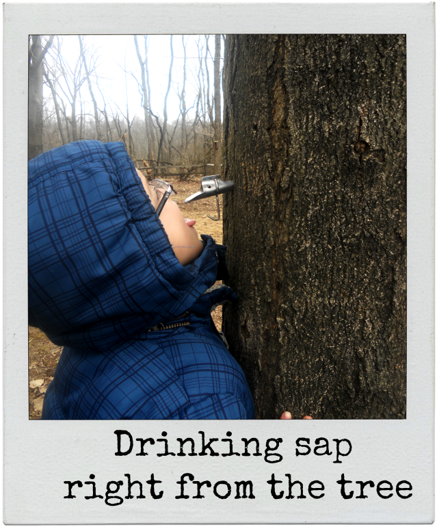 drinking maple sap